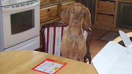 Fergie the wonder vizsla