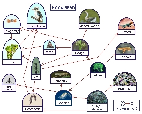 desert food chain diagram