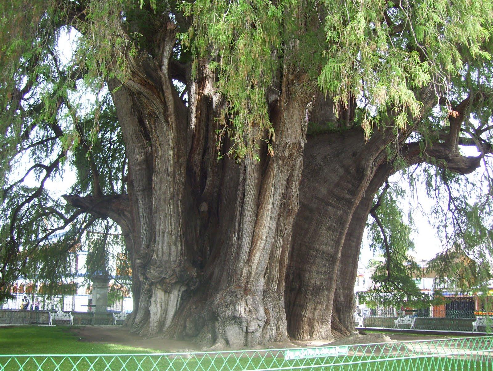 Baobabs un espacio sin tiempo for Cuanto miden los arboles