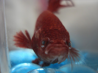 Red betta splenden. How can you resist that cute little face?
