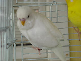 Angel the disgruntled budgie
