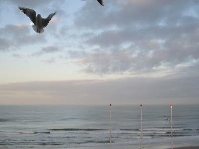 angelic gull