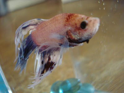 Bettas October 2010