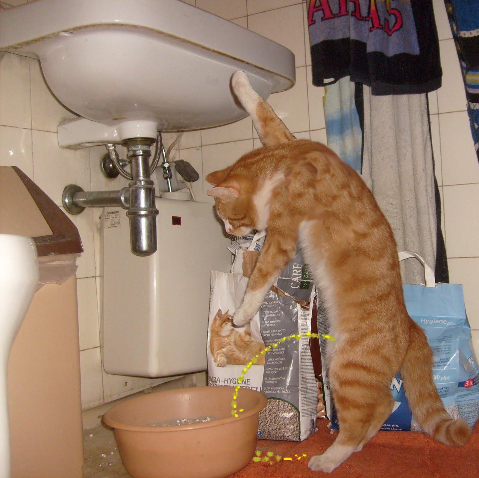 ragdoll cat spot