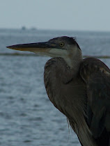 Our Local Harbor Heron, Hank