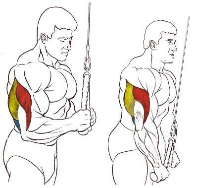fuerza de musculos