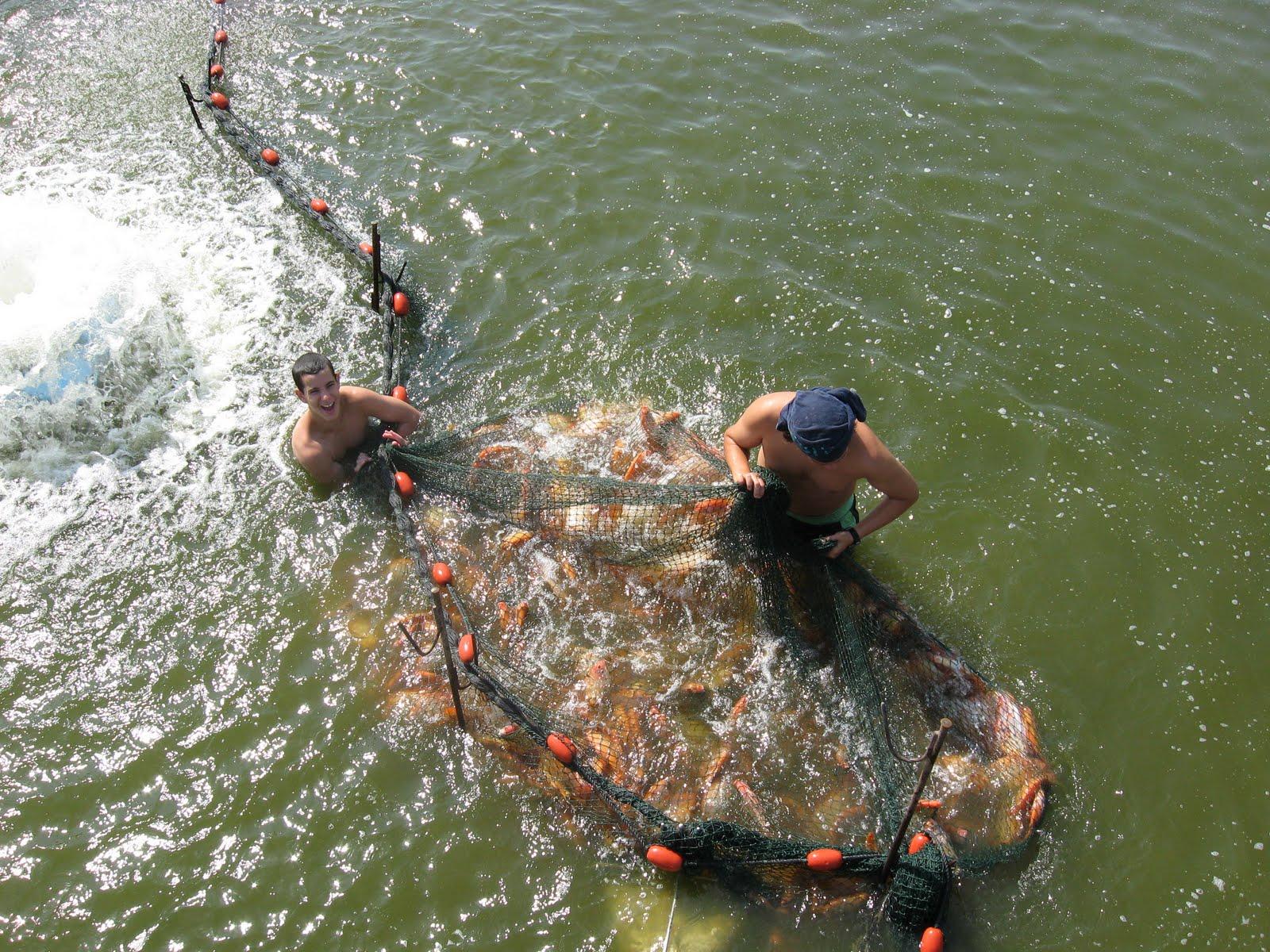 Sustainable fish farming tilapia farming in israel for Tilapia fish farming