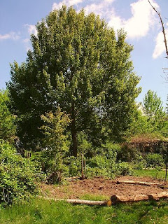 Linden tree with Hugelkultur Compost bed