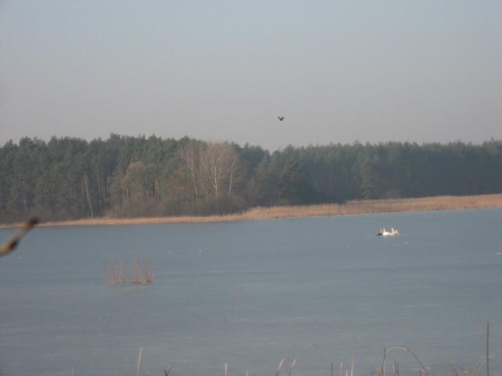 Łabędzie na lodzie a nad nimi opiekun jeziorka - orzeł bielik