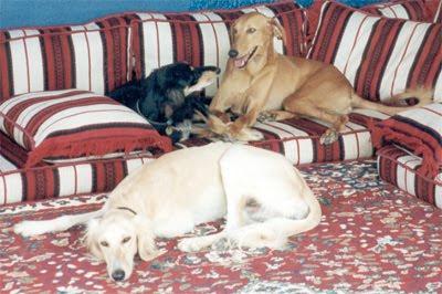 Salukis lounge on cushions in a majelis.