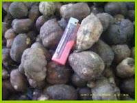Faiz Barchia Kentang Hitam Tanah Mineral Masam