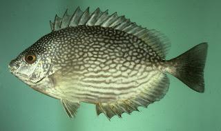 Muara Barramundi: Budidaya Ikan Baronang