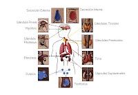 importancia sistema endocrino: