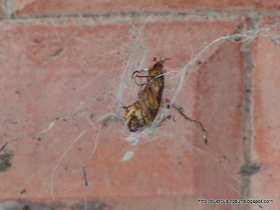Cucaracha en una telaraña (Junio, 2005)