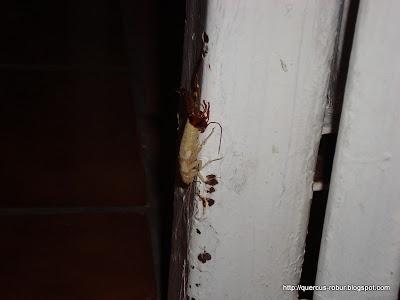 El tamaño del exo-esqueleto es menor a la cucaracha albina