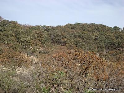 Bosque de encino en el Cerro la Mesa