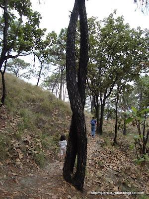 Encinos trenzado camino a la Atarjea