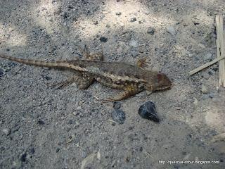 Reptil arrollado en la brecha de Ahuisculco