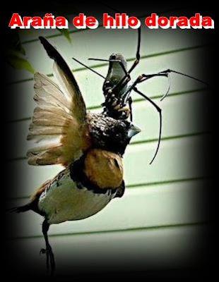 araña de hilo dorada