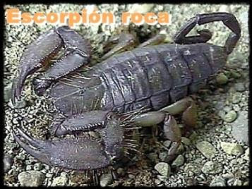 escorpion roca