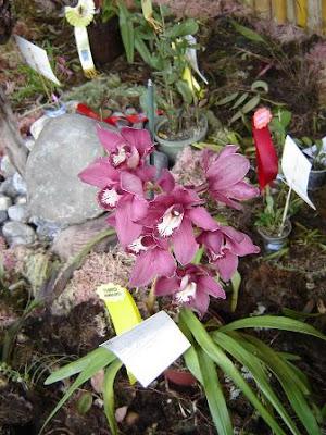 aybiduim hibrido, orquidea