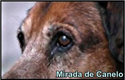 mirada de canelo, el perro fiel