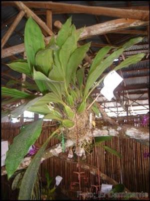 planta en el xiv festival de la orquidea 2009, moyobamba