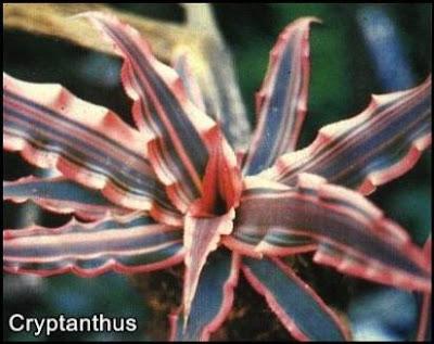 cryptanthus (bromelia)