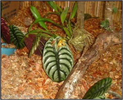 psychopsis versteegianum en el xiv festival de la orquidea 2009 (moyobamba)