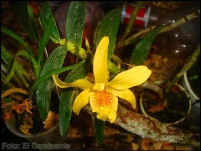 flor amarilla en el xiv festival de la orquidea 2009, moyobamba