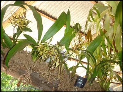 brassia en el xiv festival de la orquidea 2009 (moyobamba, peru)