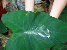 "Spring water in ""Malanga"" leaf..."