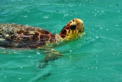 Tortuga saliendo a respirar  (Mexico)