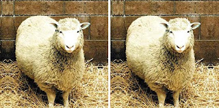 Photo of Dolly the cloned sheep