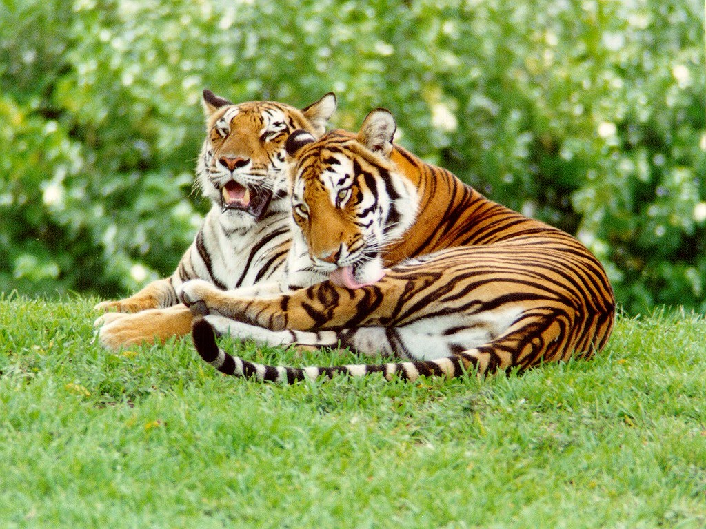 save tigers project tiger project tiger