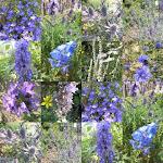 blaue Blüten im Juli