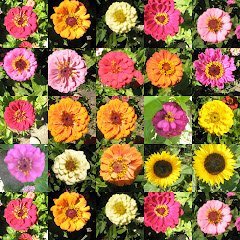 Zinnien im August