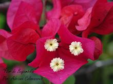 """Flor de Bugambilia"""