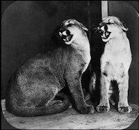 Black and white image of two cougars.