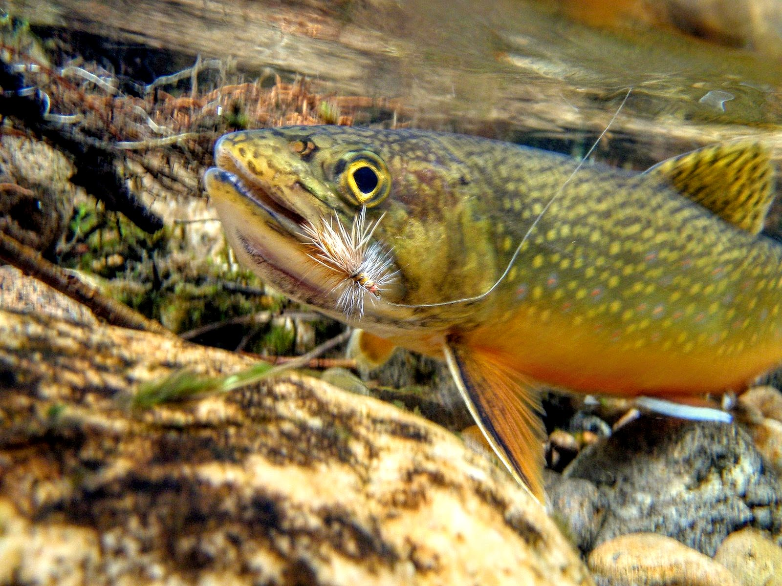 Eat more brook trout the author for Fly fishing wallpaper