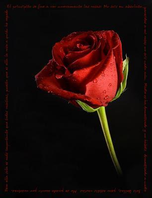 Felicidades giovanna! 20080327001712-rosa-roja-1-