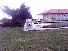 O Samoiedskaia Sabaka, o cão que ri...