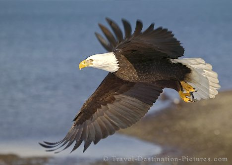 images of eagles in flight