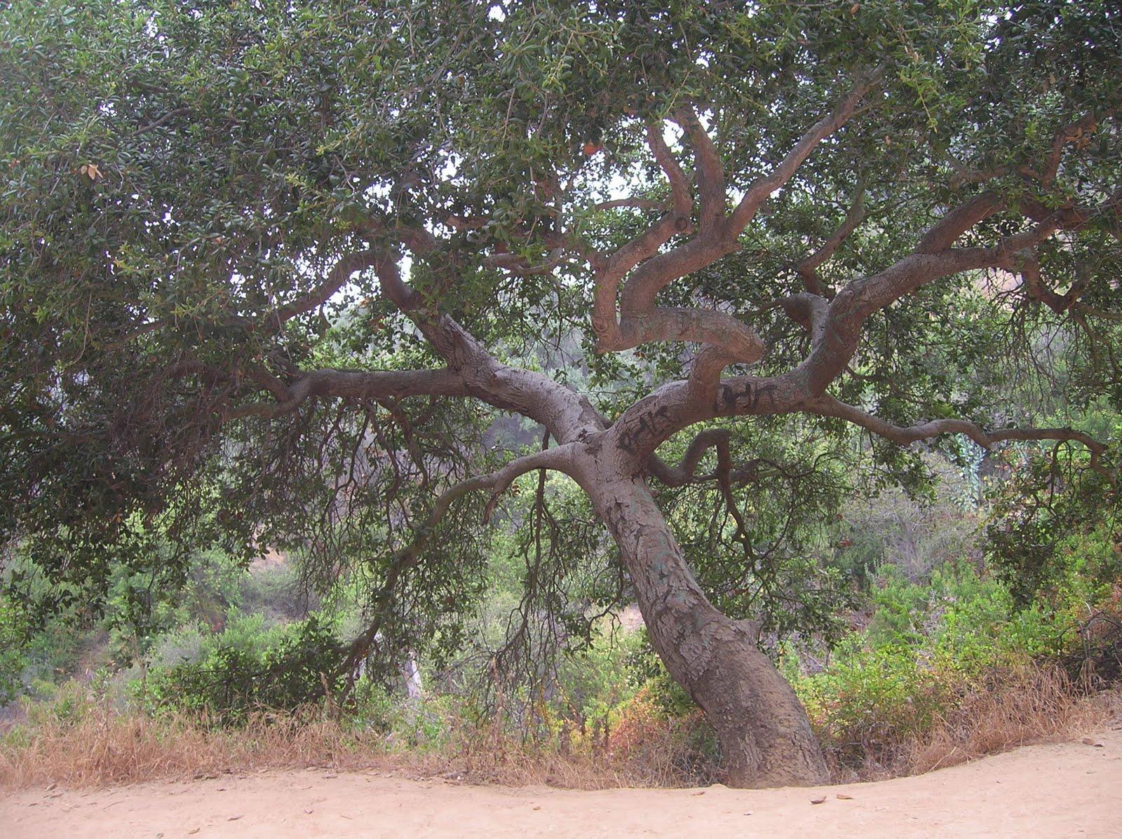 Ruj Drvo