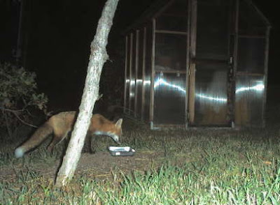 Red fox. Photo by Chas S. Clifton 10/3/07