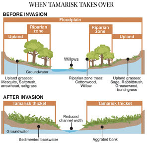 Western river with and without invasive tamarisk. Graphic: The Pueblo Chieftain
