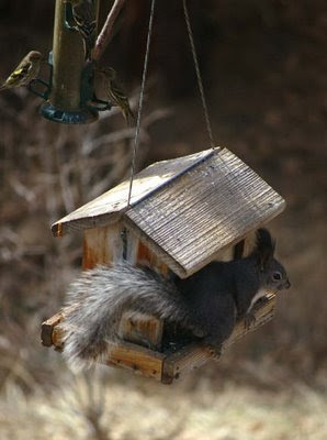 Abert's squirrel, March 2009, Photo by Chas S. Clifton