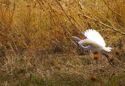 Great egret, Socorro Countym, New Mexico