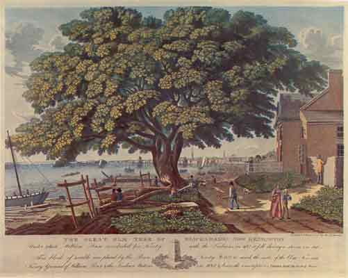 elm tree. elm tree pictures. shade of a
