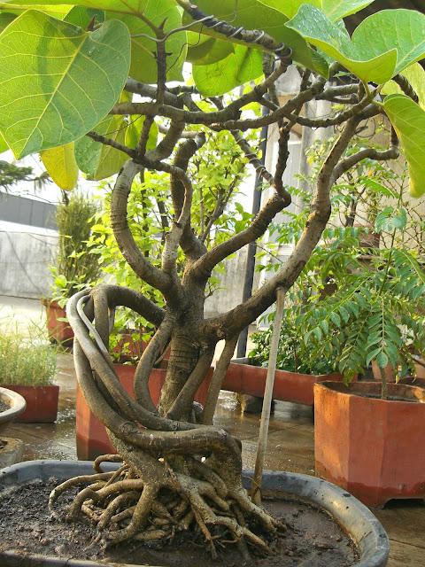 Bonsai banyan curved roots